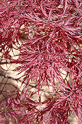 Red Dragon Japanese Maple (Acer palmatum 'Red Dragon') at Plant World