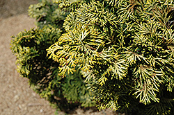 Verdoni Gold Hinoki Falsecypress (Chamaecyparis obtusa 'Verdoni Gold') at Plant World