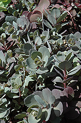 Dazzleberry Stonecrop (Sedum 'Dazzleberry') at Plant World