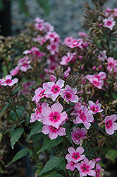 Early Start™ Pink Garden Phlox (Phlox paniculata 'Early Start Pink') at Plant World
