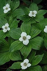 Bunchberry (Cornus canadensis) at Plant World