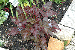 Midnight Claret Coral Bells (Heuchera 'Midnight Claret') at Plant World