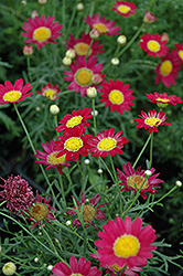 Madeira Red Marguerite Daisy (Argyranthemum frutescens 'Madeira Red') at Plant World