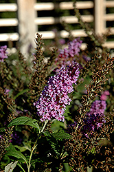 Buzz Violet Blue Butterfly Bush (Buddleia 'Buzz Violet Blue') at Plant World