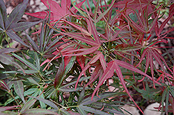Villa Taranto Japanese Maple (Acer palmatum 'Villa Taranto') at Plant World