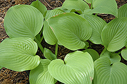 Fried Bananas Hosta (Hosta 'Fried Bananas') at Plant World