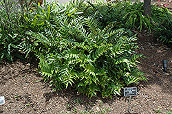 Japanese Holly Fern (Cyrtomium falcatum) at Plant World