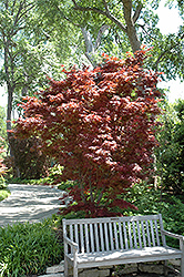 Pixie Japanese Maple (Acer palmatum 'Pixie') at Plant World
