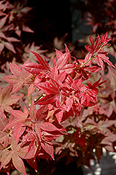 Ruby Stars Japanese Maple (Acer palmatum 'Ruby Stars') at Plant World