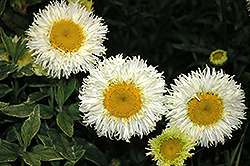 Real Galaxy Shasta Daisy (Leucanthemum x superbum 'Real Galaxy') at Plant World