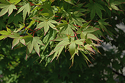 Tobiosho Japanese Maple (Acer palmatum 'Tobiosho') at Plant World