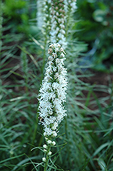 White Blazing Star (Liatris spicata 'Alba') at Plant World