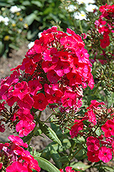 Red Flame Garden Phlox (Phlox paniculata 'Red Flame') at Plant World