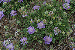 Blue Note Pincushion Flower (Scabiosa columbaria 'Blue Note') at Plant World
