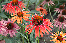 Hot Summer Coneflower (Echinacea 'Hot Summer') at Plant World