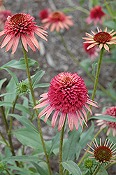 Irresistible Coneflower (Echinacea 'Irresistible') at Plant World