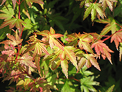 Coonara Pygmy Japanese Maple (Acer palmatum 'Coonara Pygmy') at Plant World