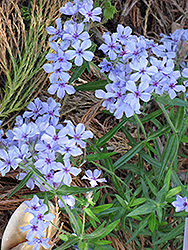 Chattahoochee Phlox (Phlox divaricata 'Chattahoochee') at Plant World