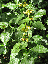 Yellow Archangel (Lamiastrum galeobdolon) at Plant World