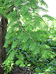 Dawn Redwood (Metasequoia glyptostroboides) at Plant World