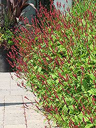 Fire Tail Fleeceflower (Persicaria amplexicaulis 'Fire Tail') at Plant World