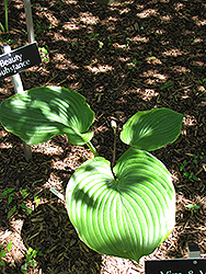 Beauty Substance Hosta (Hosta 'Beauty Substance') at Plant World