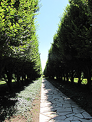 Pyramidal European Hornbeam (Carpinus betulus 'Fastigiata') at Plant World