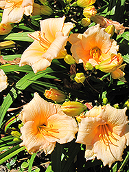 Mini Pearl Daylily (Hemerocallis 'Mini Pearl') at Plant World
