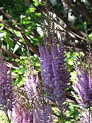 Purpurlanze Chinese Astilbe (Astilbe chinensis 'Purpurlanze') at Plant World