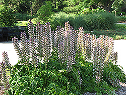 Hungarian Bear's Breeches (Acanthus hungaricus) at Plant World