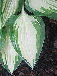 Island Charm Hosta (Hosta 'Island Charm') at Plant World