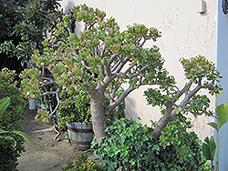 Jade Plant (Crassula ovata) at Plant World