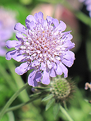 Butterfly Blue Pincushion Flower (Scabiosa 'Butterfly Blue') at Plant World