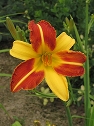 Frans Hals Daylily (Hemerocallis 'Frans Hals') at Plant World