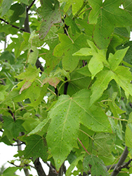 Moraine Sweet Gum (Liquidambar styraciflua 'Moraine') at Plant World