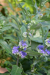 Beyond Midnight® Caryopteris (Caryopteris x clandonensis 'CT-9-12') at Plant World