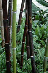 Black Bamboo (Phyllostachys nigra) at Plant World