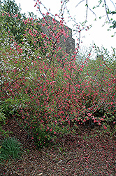 Pink Lady Flowering Quince (Chaenomeles x superba 'Pink Lady') at Plant World