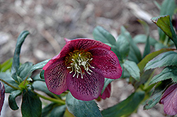 Grape Galaxy Hellebore (Helleborus 'Grape Galaxy') at Plant World