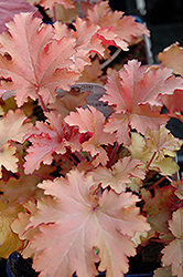 Zipper Coral Bells (Heuchera 'Zipper') at Plant World