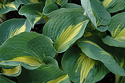 Thunderbolt Hosta (Hosta 'Thunderbolt') at Plant World