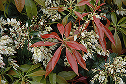 Scarlet O'Hara Japanese Pieris (Pieris japonica 'Scarlet O'Hara') at Plant World