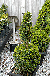 Green Mountain Boxwood (poodle form) (Buxus 'Green Mountain (poodle)') at Plant World