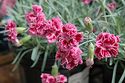 Dragon Fruit Pinks (Dianthus 'Dragon Fruit') at Plant World