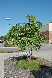 Korean Maple (Acer pseudosieboldianum) at Plant World