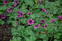 Perfect Storm Cranesbill (Geranium 'Perfect Storm') at Plant World