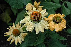 Aloha Coneflower (Echinacea 'Aloha') at Plant World