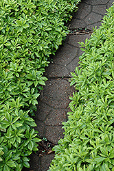 Green Carpet Japanese Spurge (Pachysandra terminalis 'Green Carpet') at Plant World