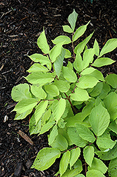 Sun King Japanese Spikenard (Aralia cordata 'Sun King') at Plant World