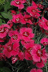 Ruby Sparkles Pinks (Dianthus 'Ruby Sparkles') at Plant World